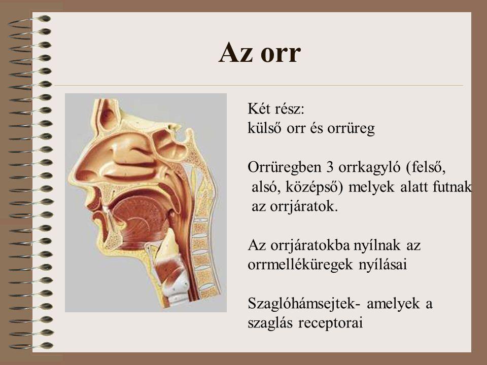 Az orr Két rész: külső orr és orrüreg Orrüregben 3 orrkagyló (felső, alsó, középső) melyek alatt futnak az orrjáratok.