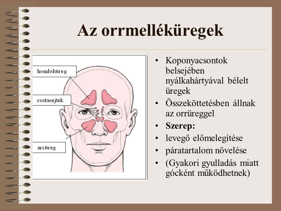 Az orrmelléküregek Koponyacsontok belsejében nyálkahártyával bélelt üregek Összeköttetésben állnak az orrüreggel Szerep: levegő előmelegítése páratartalom növelése (Gyakori gyulladás miatt gócként működhetnek)