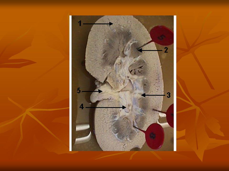 A vese anatómiája A vesekapu tartalmazza A vesekapu tartalmazza A vesébe belépő veseartériát (a.