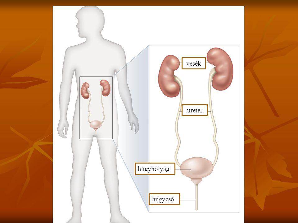 vesék ureter húgycső húgyhólyag