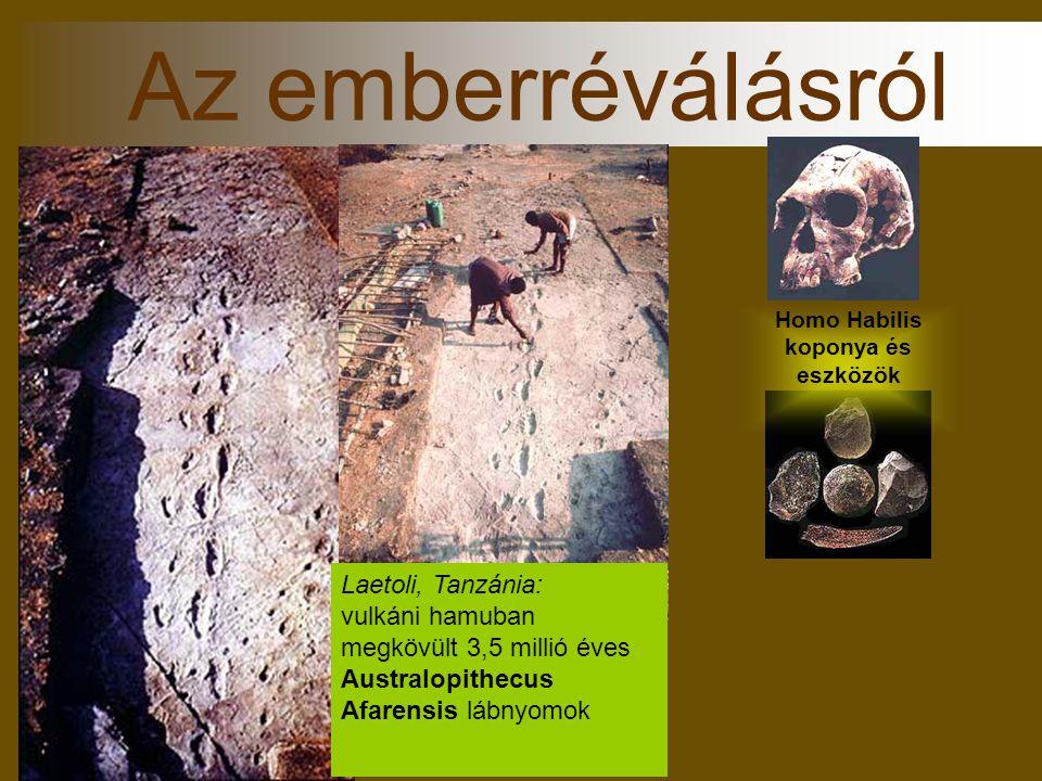 Homo Habilis koponya és eszközök Az emberréválásról Laetoli, Tanzánia: vulkáni hamuban megkövült 3,5 millió éves Australopithecus Afarensis lábnyomok