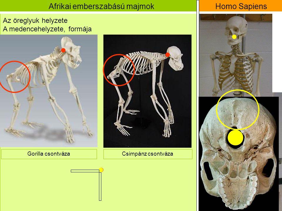 Afrikai emberszabású majmok Gorilla csontváza Homo Sapiens Az öreglyuk helyzete Csimpánz csontváza A medencehelyzete, formája