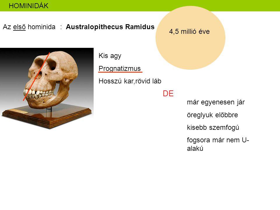 HOMINIDÁK Az első hominida : Australopithecus Ramidus 4,5 millió éve Kis agy Prognatizmus Hosszú kar,rövid láb DE már egyenesen jár öreglyuk előbbre k