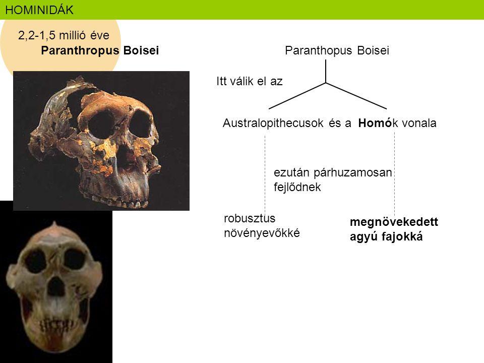HOMINIDÁK Paranthropus Boisei Australopithecusok és a Homók vonala Itt válik el az Paranthopus Boisei 2,2-1,5 millió éve ezután párhuzamosan fejlődnek
