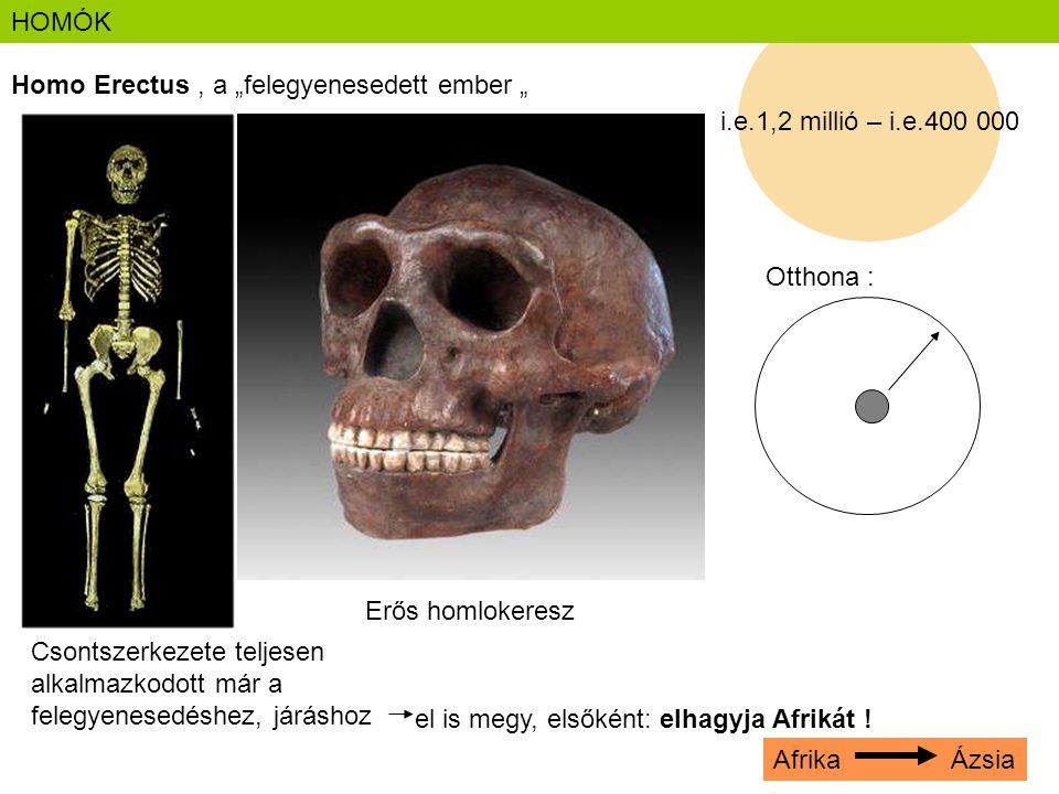 """i.e.1,2 millió – i.e.400 000 HOMÓK Homo Erectus, a """"felegyenesedett ember """" Csontszerkezete teljesen alkalmazkodott már a felegyenesedéshez, járáshoz"""