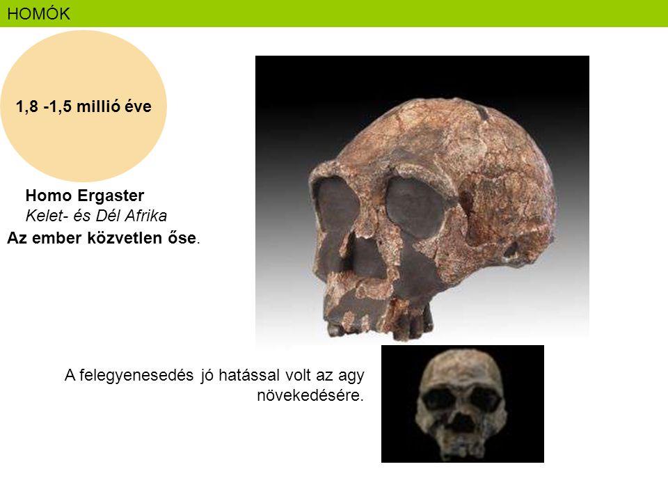 1,8 -1,5 millió éve HOMÓK Homo Ergaster Kelet- és Dél Afrika Az ember közvetlen őse. A felegyenesedés jó hatással volt az agy növekedésére.