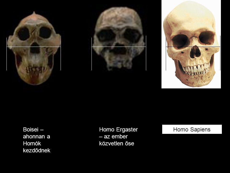 Boisei – ahonnan a Homók kezdődnek Homo Ergaster – az ember közvetlen őse Homo Sapiens