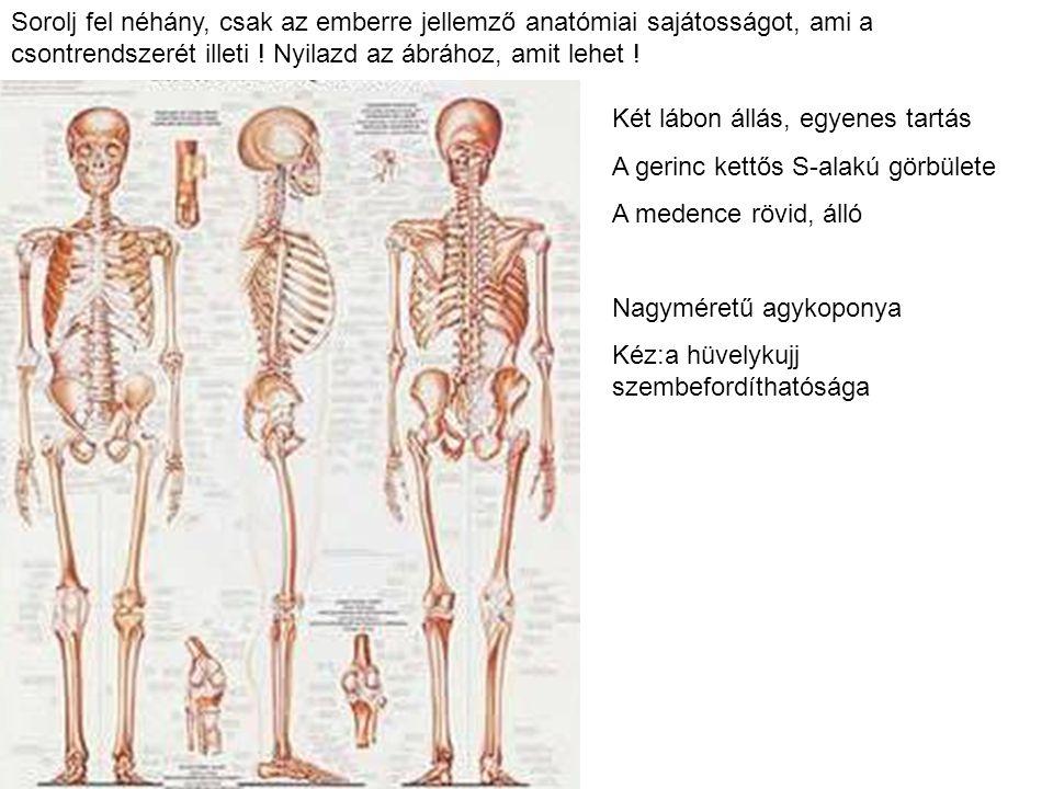 Sorolj fel néhány, csak az emberre jellemző anatómiai sajátosságot, ami a csontrendszerét illeti ! Nyilazd az ábrához, amit lehet ! Két lábon állás, e