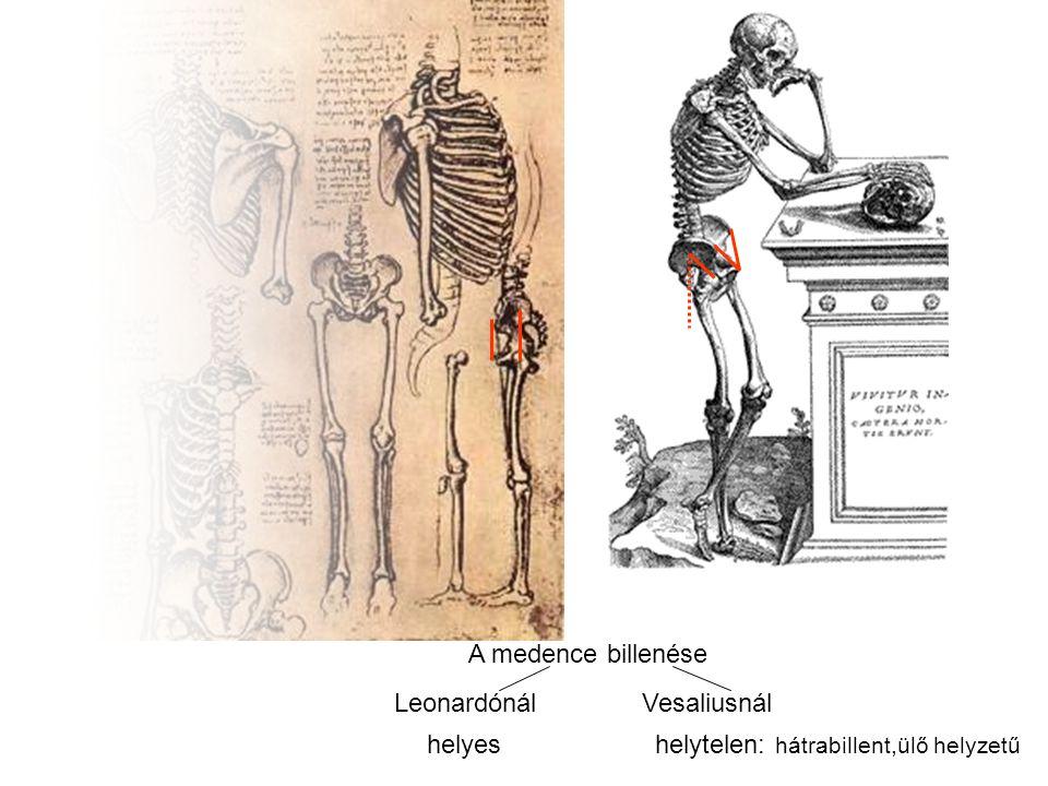 Leonardónál Vesaliusnál A medence billenése helyes helytelen: hátrabillent,ülő helyzetű