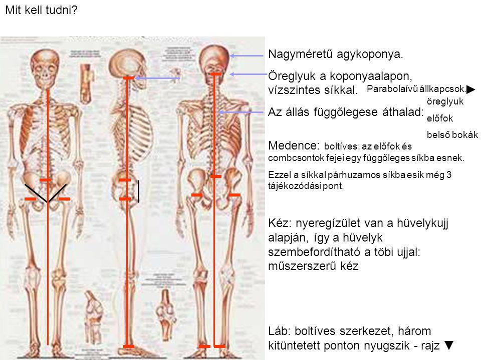 Mit kell tudni? Nagyméretű agykoponya. Öreglyuk a koponyaalapon, vízszintes síkkal. Az állás függőlegese áthalad: Medence: boltíves; az előfok és comb