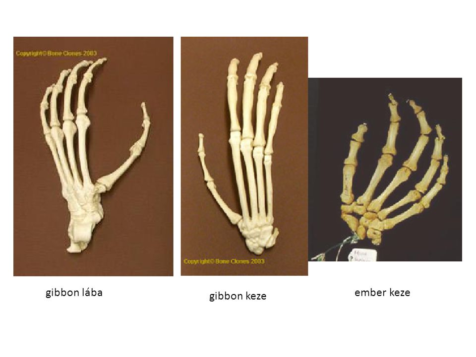 gibbon lába gibbon keze ember keze