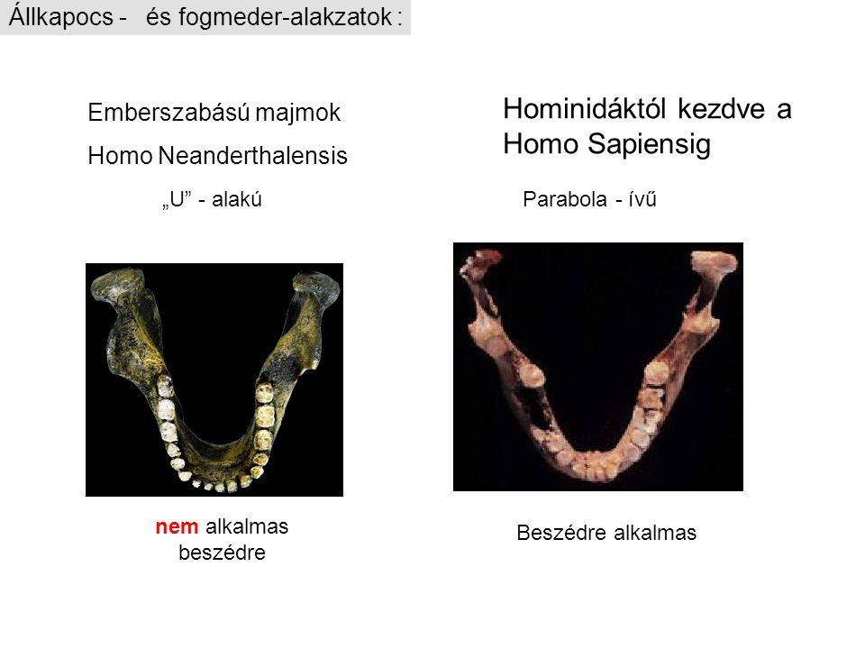 "Hominidáktól kezdve a Homo Sapiensig Emberszabású majmok Homo Neanderthalensis Parabola - ívű ""U"" - alakú Beszédre alkalmas nem alkalmas beszédre Állk"