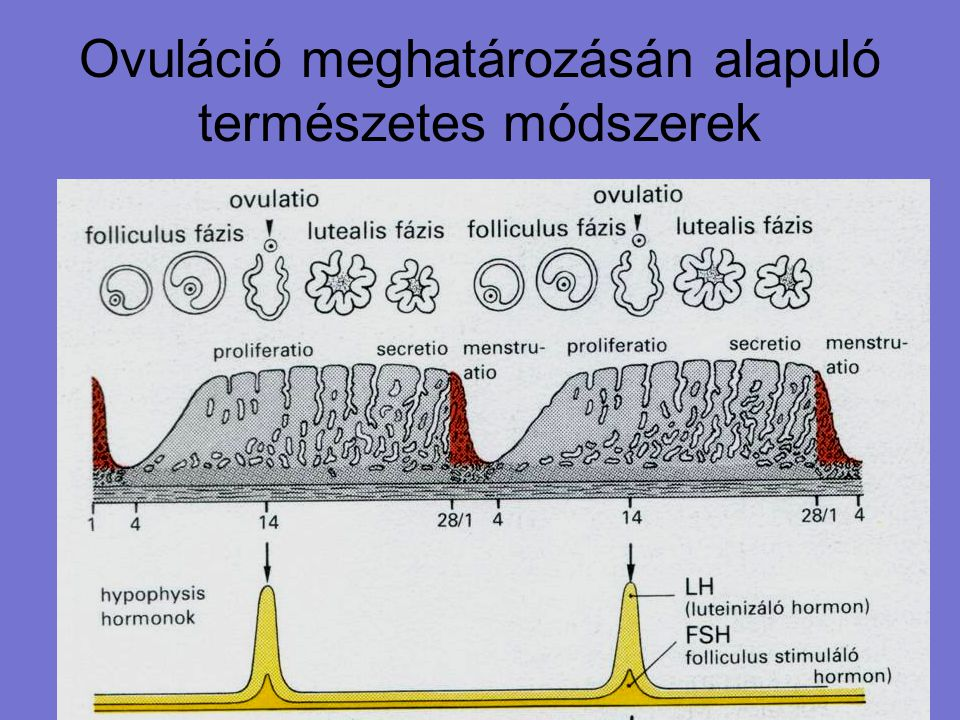 A tüszőrepedés környékén a nyák mennyisége jelentősen megnő, állaga tojásfehérjéhez hasonlít, és kis mintát véve a két ujjunk között hosszúra nyújtható.