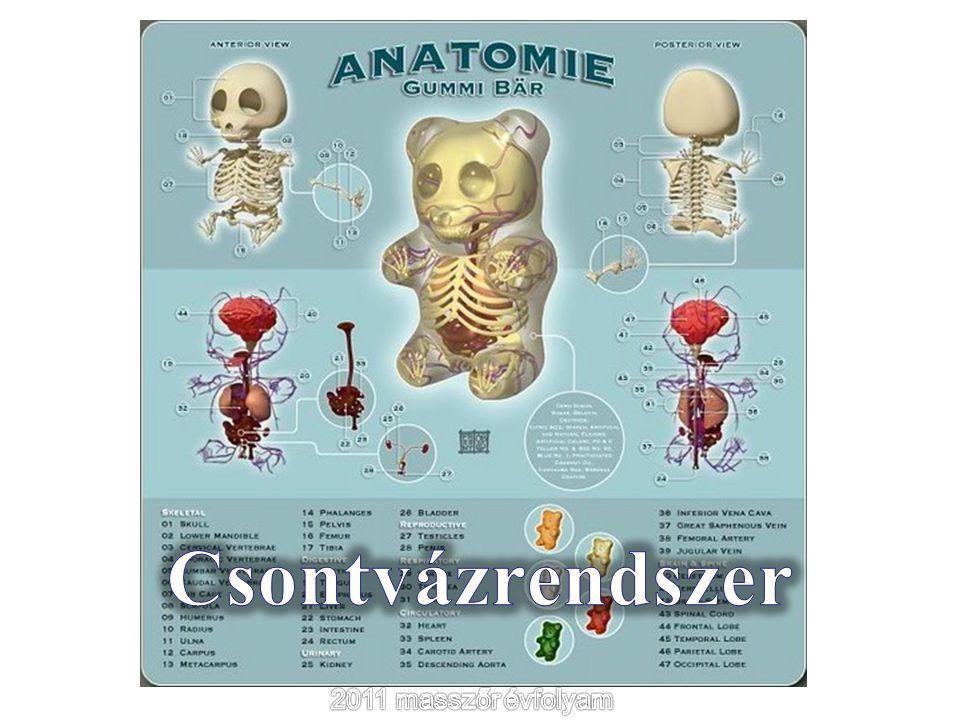 Csontváz 206 csontból tevődik össze A test szilárd váza A mozgás passzív szerve Az izmok tapadási helye Testüregeket fog közre és védi a benne lévő szerveket A vérképzés helye