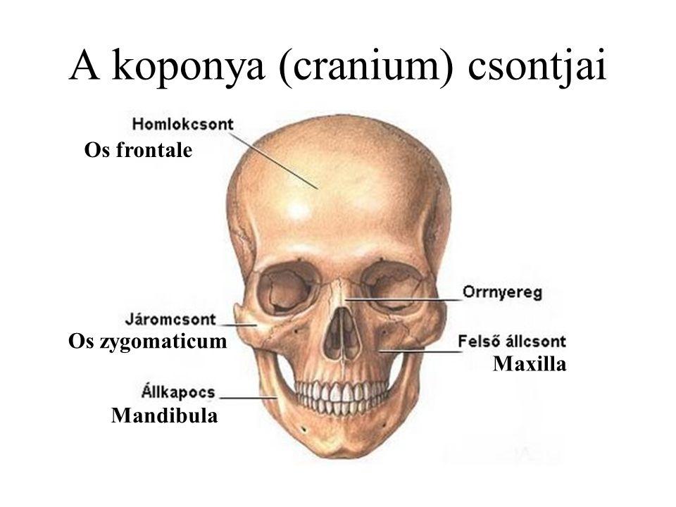A koponya (cranium) csontjai Os frontale Mandibula Maxilla Os zygomaticum