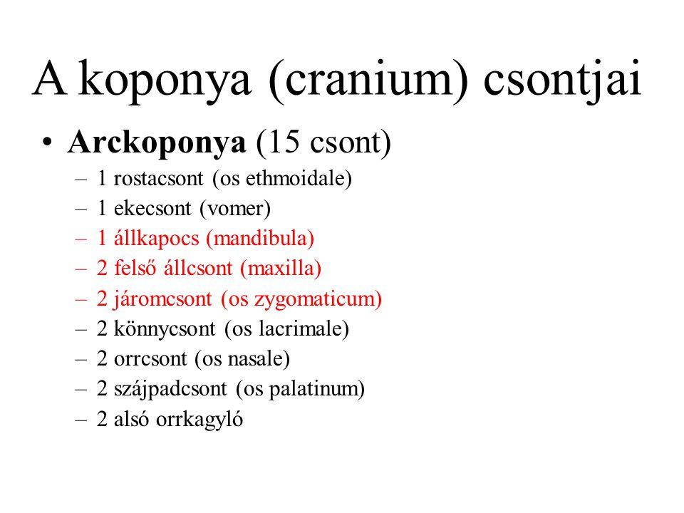 Arckoponya (15 csont) –1 rostacsont (os ethmoidale) –1 ekecsont (vomer) –1 állkapocs (mandibula) –2 felső állcsont (maxilla) –2 járomcsont (os zygomat