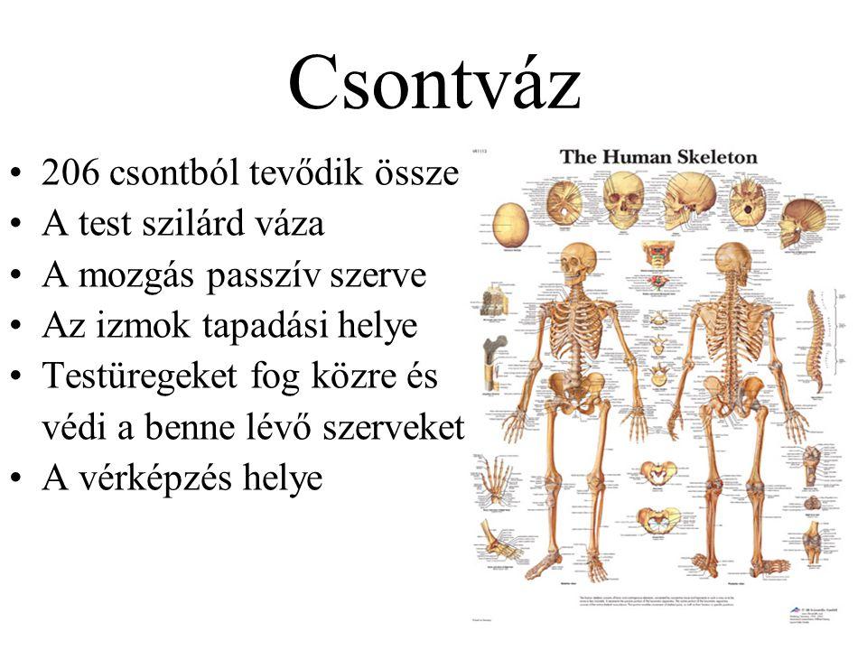 Csontváz 206 csontból tevődik össze A test szilárd váza A mozgás passzív szerve Az izmok tapadási helye Testüregeket fog közre és védi a benne lévő sz