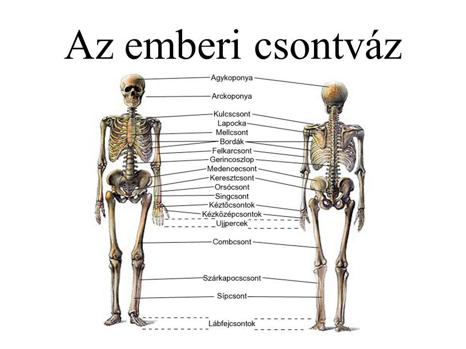 Gerinc (columna vertebralis) Csigolyák (vertebra, vertebrae) Nyakcsigolya – 7 Hátcsigolya – 12 Ágyékcsigolya – 5 Keresztcsonti csigolya – 5 Farkcsigolya – 3-6