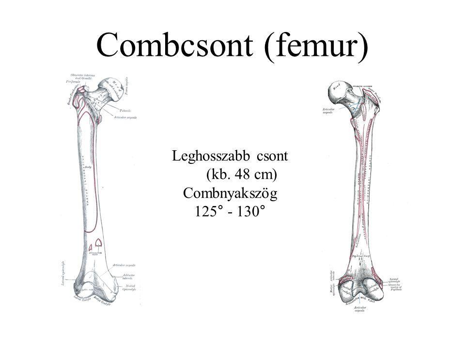 Combcsont (femur) Leghosszabb csont (kb. 48 cm) Combnyakszög 125° - 130°
