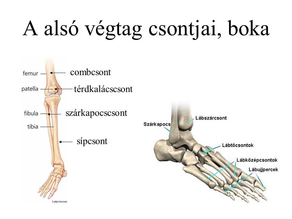 A alsó végtag csontjai, boka combcsont sípcsont szárkapocscsont térdkalácscsont