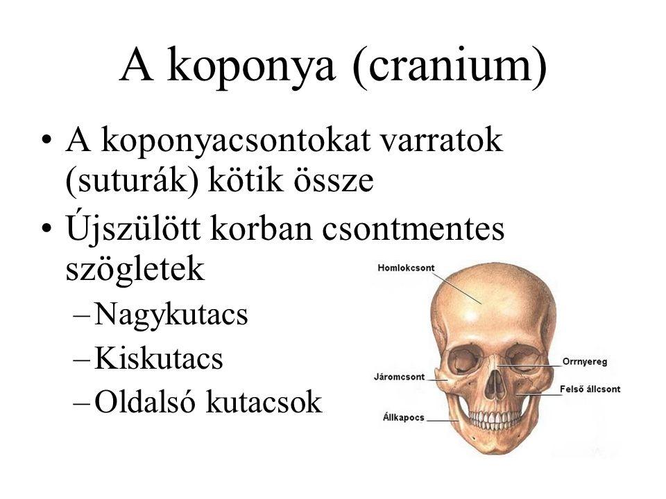 Gerinc görbületei Nyaki lordosis (előredomborodás) Háti kyphosis (hátradomborodás) –fiziológiás scoliosis Ágyéki lordosis sacralis kyphosis