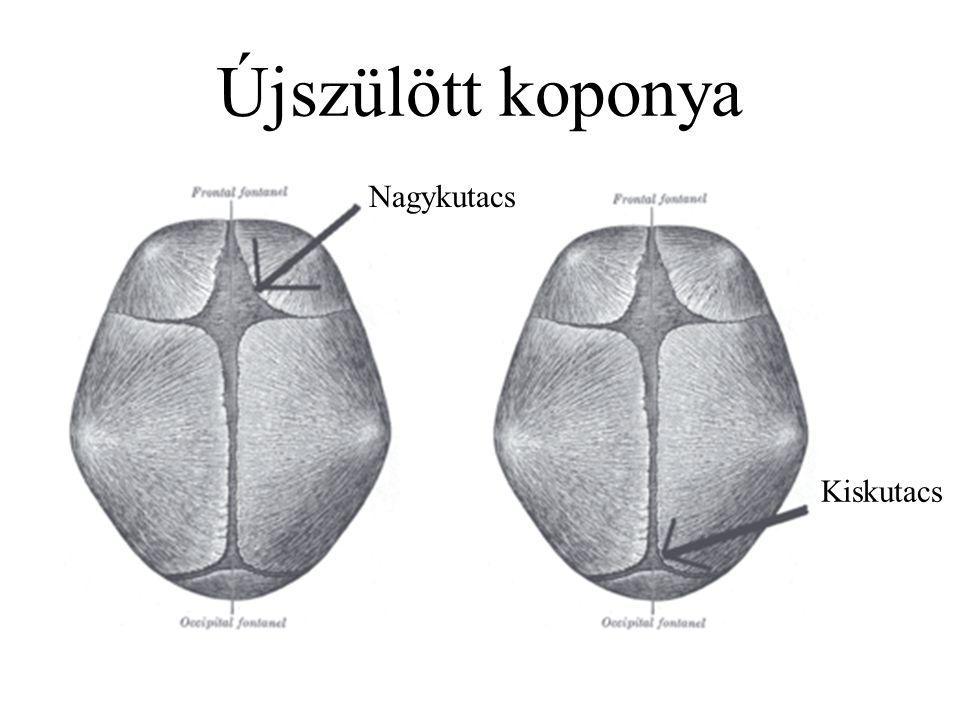 Szótár Articulatio – ízület Os – csont Sutura –varrat Fontanella – kutacs Cranium Os frontale – homlokcsont Os occipitale – nyakszirtcsont Os parietale – falcsont Os temporale – halántékcsont Os zygomaticum - járomcsont Maxilla – felső állcsont Mandibula – állkapocscsont Columna vertebralis – gerinc Vertebra – csigolya Thorax – mellkas Costa – borda Sternum – szegycsont Clavicula – kulcscsont Scapula – lapockacsont Humerus – felkarcsont Ulna – singcsont Radius – orsócsont Sacrum – keresztcsont Os coxae – medencecsont Femur – combcsont Patella - térdkalács Tibia – sípcsont Fibula - szárkapocscsont