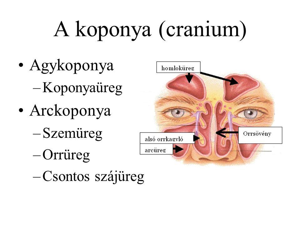 Agykoponya (7 csont) –2 falcsont (os parietale) –2 halántékcsont (os temporale) –1 homlokcsont (os frontale) –1 nyakszirtcsont (os occipitale) –1 ékcsont (os sphenoidale) A koponya (cranium) csontjai
