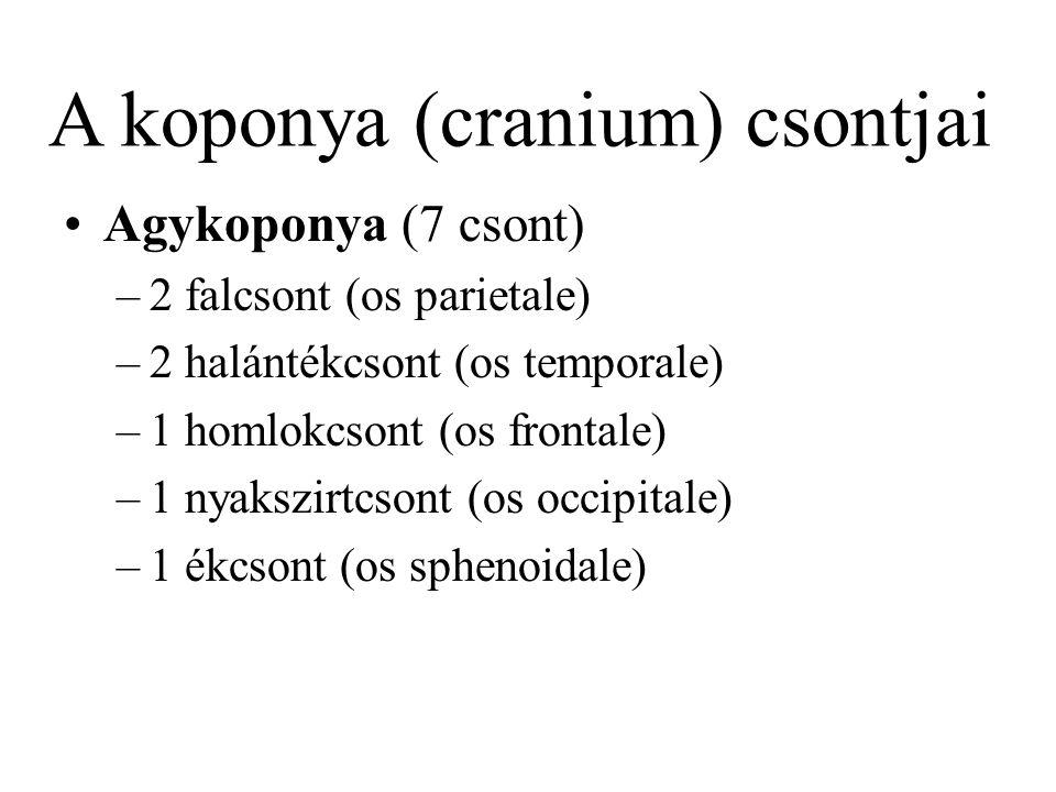 Agykoponya (7 csont) –2 falcsont (os parietale) –2 halántékcsont (os temporale) –1 homlokcsont (os frontale) –1 nyakszirtcsont (os occipitale) –1 ékcs