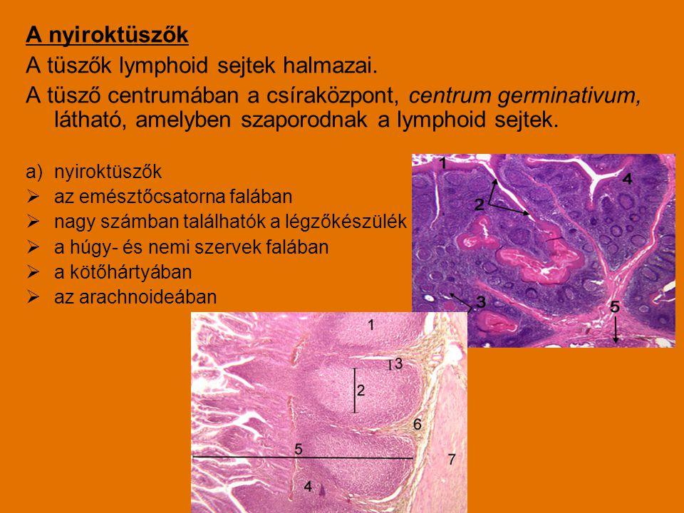 A nyiroktüszők A tüszők lymphoid sejtek halmazai. A tüsző centrumában a csíraközpont, centrum germinativum, látható, amelyben szaporodnak a lymphoid s