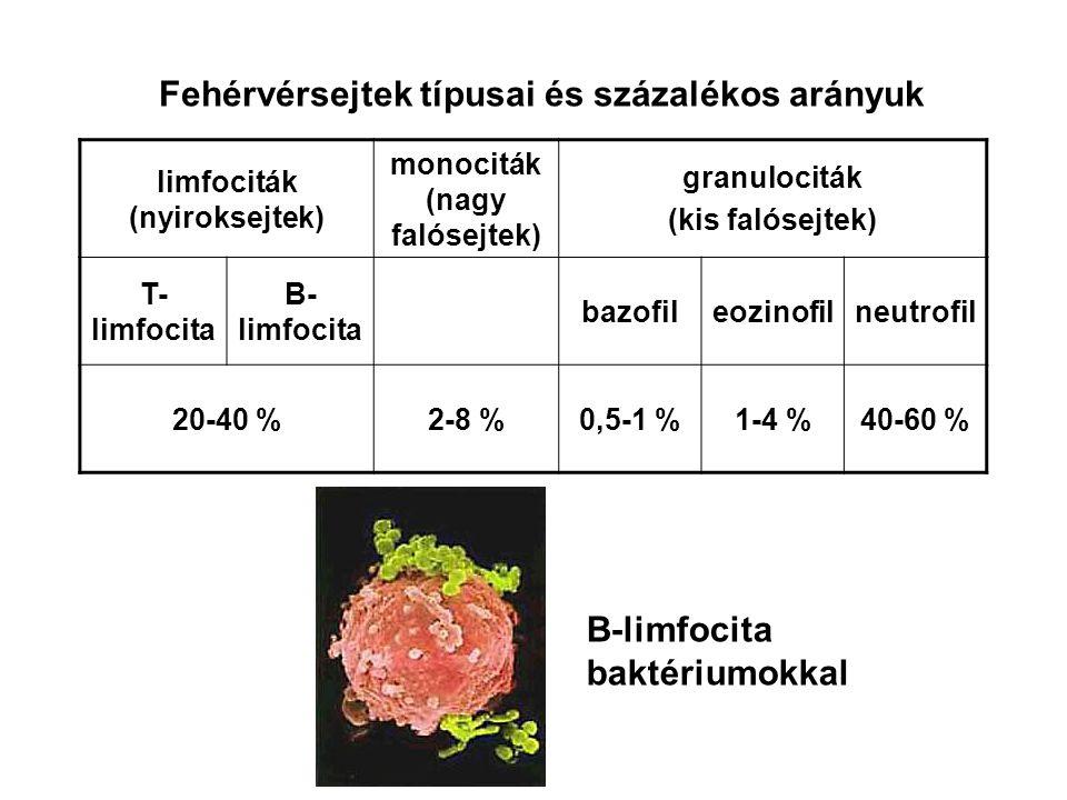 Fehérvérsejtek típusai és százalékos arányuk limfociták (nyiroksejtek) monociták (nagy falósejtek) granulociták (kis falósejtek) T- limfocita B- limfo