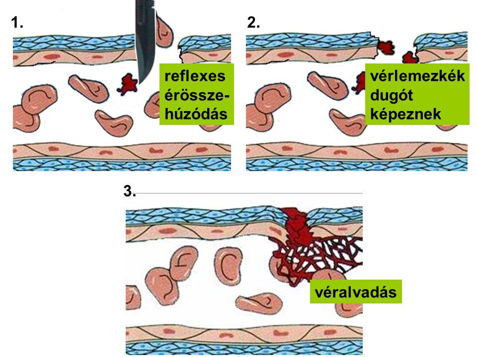 1.2. 3. reflexes érössze- húzódás vérlemezkék dugót képeznek véralvadás