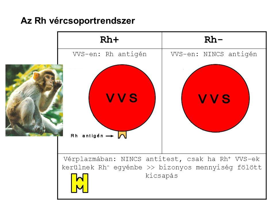 Az Rh vércsoportrendszer Rh+Rh- VVS-en: Rh antigénVVS-en: NINCS antigén Vérplazmában: NINCS antitest, csak ha Rh + VVS-ek kerülnek Rh - egyénbe >> biz