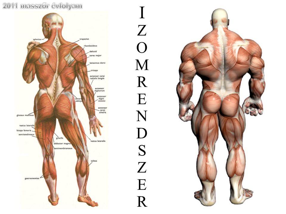 A lábszár izmai Musculus triceps surae
