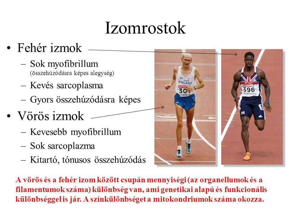 Izomrostok Fehér izmok –Sok myofibrillum (összehúzódásra képes alegység) –Kevés sarcoplasma –Gyors összehúzódásra képes Vörös izmok –Kevesebb myofibri