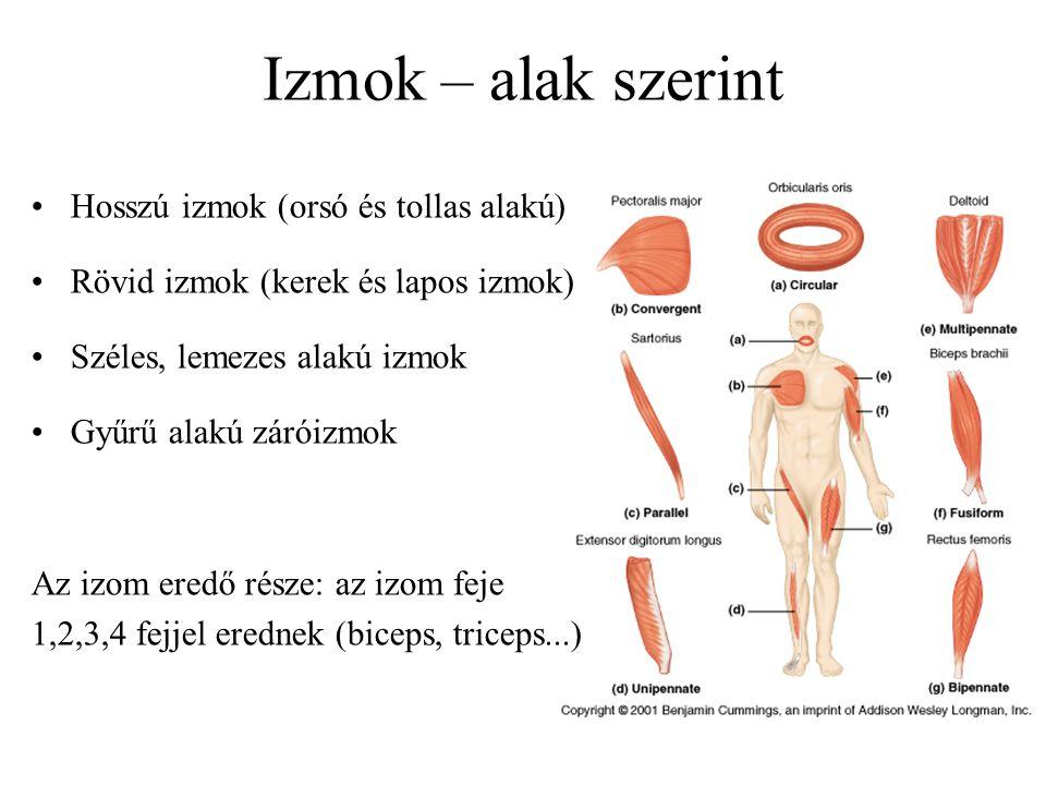 Izmok – alak szerint Hosszú izmok (orsó és tollas alakú) Rövid izmok (kerek és lapos izmok) Széles, lemezes alakú izmok Gyűrű alakú záróizmok Az izom