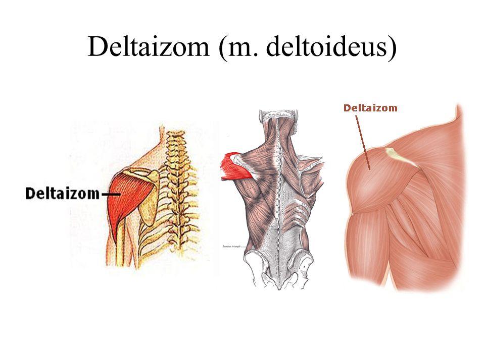 Deltaizom (m. deltoideus)