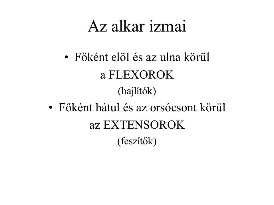 Az alkar izmai Főként elöl és az ulna körül a FLEXOROK (hajlítók) Főként hátul és az orsócsont körül az EXTENSOROK (feszítők)