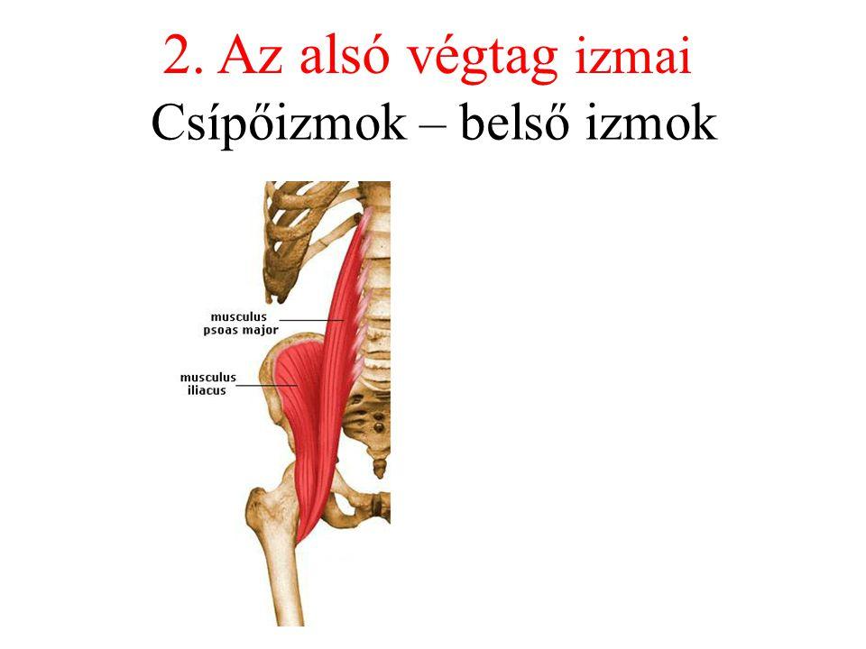 Csípőizmok – belső izmok 2. Az alsó végtag izmai