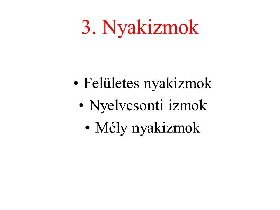 3. Nyakizmok Felületes nyakizmok Nyelvcsonti izmok Mély nyakizmok