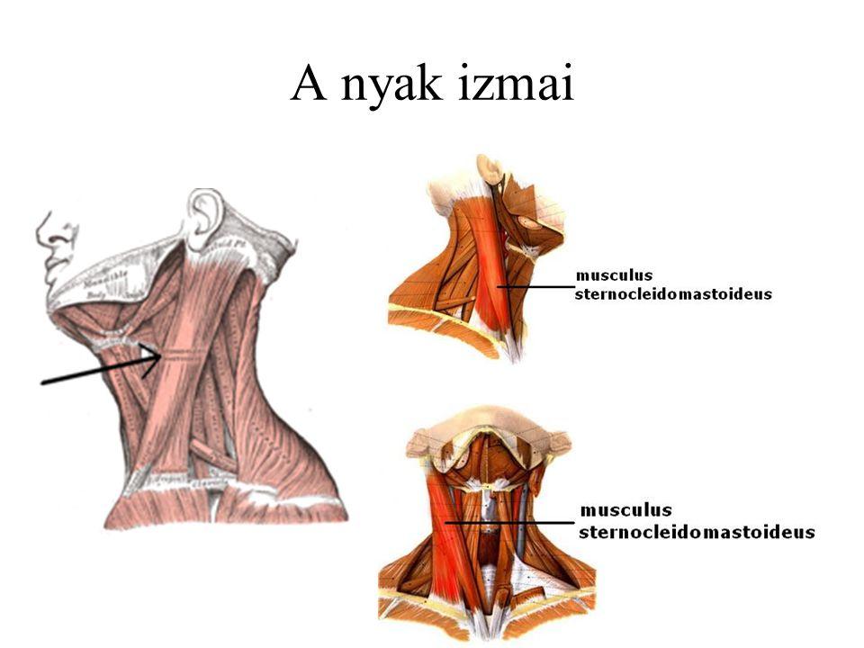 A nyak izmai