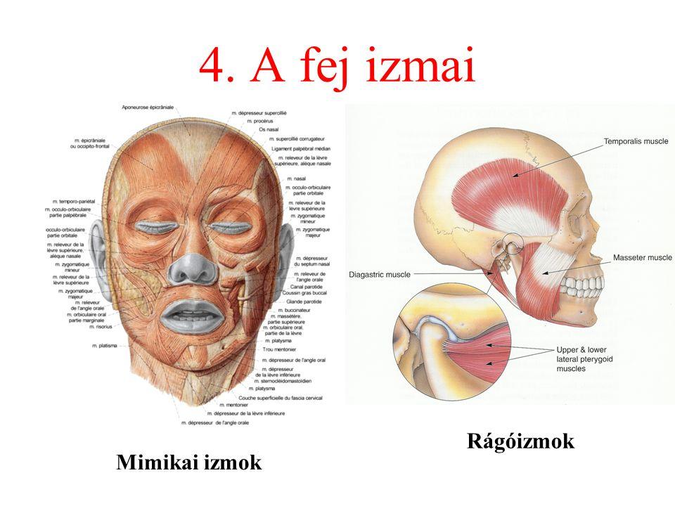 4. A fej izmai Mimikai izmok Rágóizmok