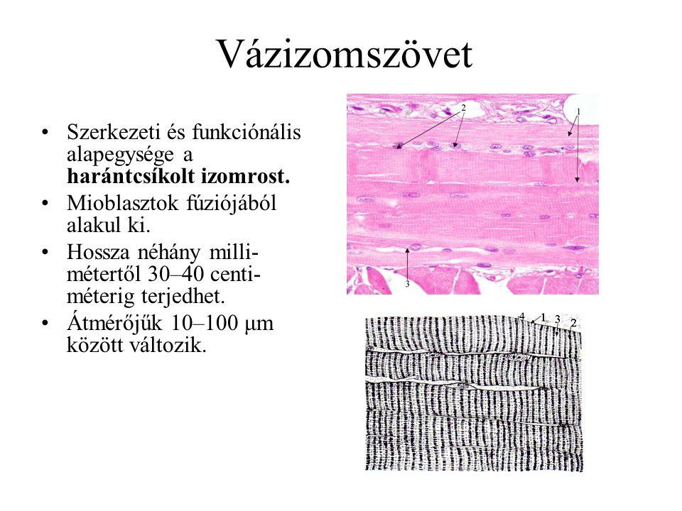 Vázizomszövet Szerkezeti és funkciónális alapegysége a harántcsíkolt izomrost. Mioblasztok fúziójából alakul ki. Hossza néhány milli- métertől 30–40 c