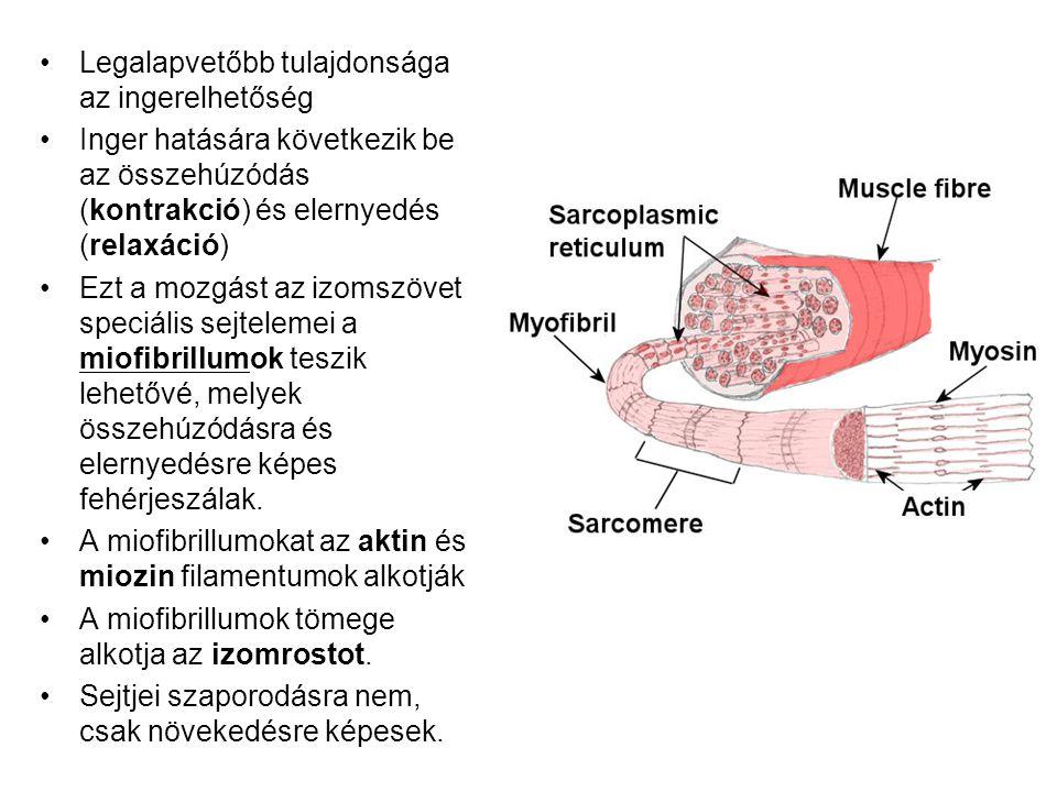 Legalapvetőbb tulajdonsága az ingerelhetőség Inger hatására következik be az összehúzódás (kontrakció) és elernyedés (relaxáció) Ezt a mozgást az izom