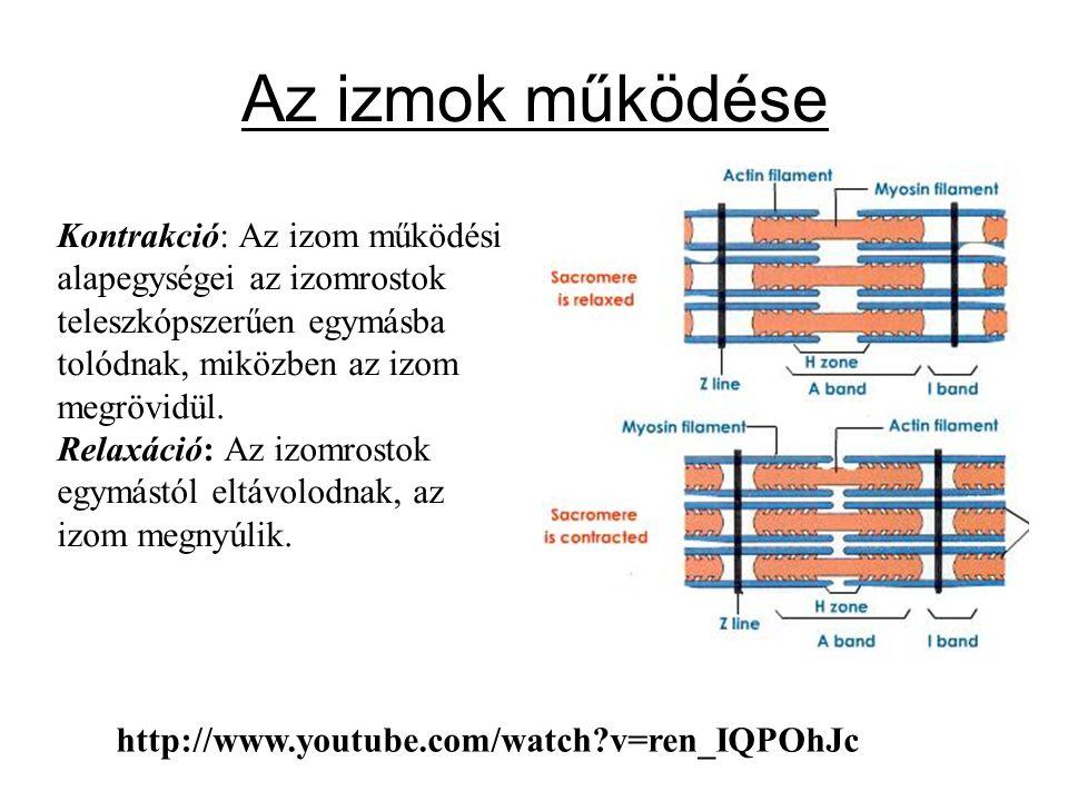 Izomtónus Az izmok állandó, kis fokú feszülési állapota, melyet idegrendszeri hatás tart fent.