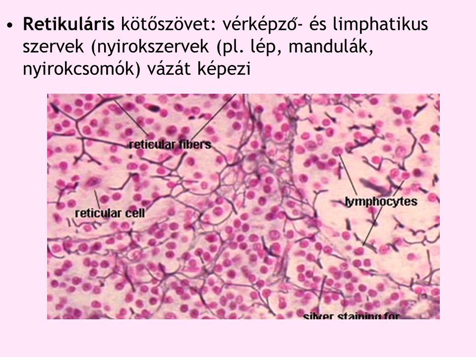 Retikuláris kötőszövet: vérképzo ̋ - és limphatikus szervek (nyirokszervek (pl. lép, mandulák, nyirokcsomók) vázát képezi