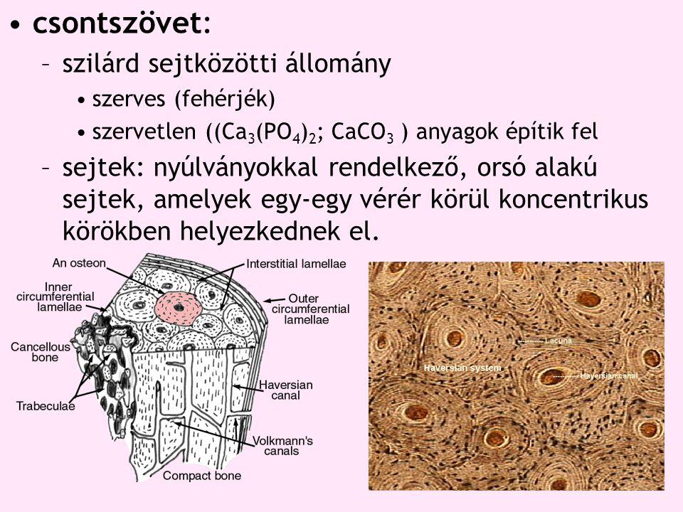 csontszövet: –szilárd sejtközötti állomány szerves (fehérjék) szervetlen ((Ca 3 (PO 4 ) 2 ; CaCO 3 ) anyagok építik fel –sejtek: nyúlványokkal rendelk