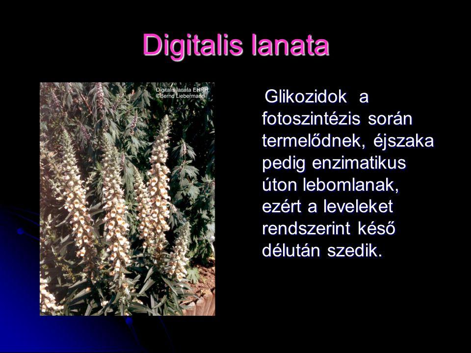 Digitalis lanata Glikozidok a fotoszintézis során termelődnek, éjszaka pedig enzimatikus úton lebomlanak, ezért a leveleket rendszerint késő délután s
