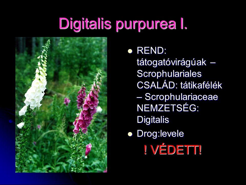 Digitalis purpurea I. REND: tátogatóvirágúak – Scrophulariales CSALÁD: tátikafélék – Scrophulariaceae NEMZETSÉG: Digitalis REND: tátogatóvirágúak – Sc