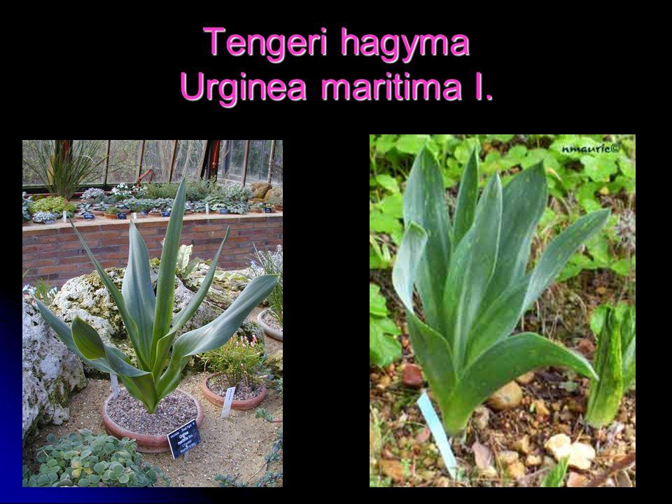 Tengeri hagyma Urginea maritima I.