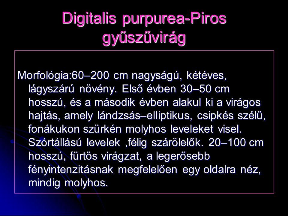 Digitalis purpurea-Piros gyűszűvirág Morfológia:60–200 cm nagyságú, kétéves, lágyszárú növény. Első évben 30–50 cm hosszú, és a második évben alakul k
